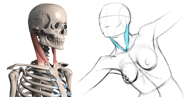 600x311 How To Draw The Neck