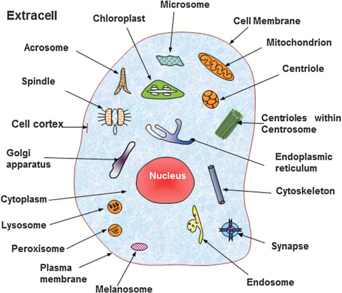 682x585 A Schematic Drawing To Show The 20 Subcellular Locations Of Animal