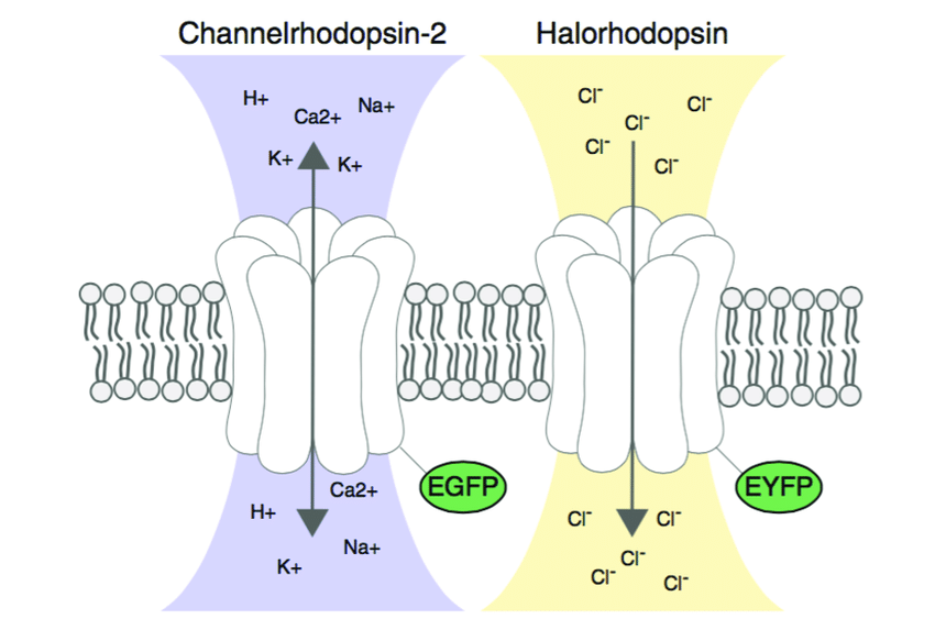 850x563 Figure Ii.5 Schematic Drawing Of The Two Optogenetic Proteins