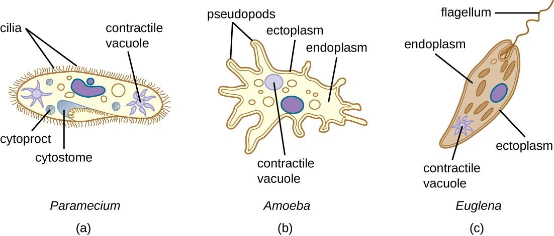 Protist Cell Under Microscope