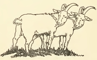383x238 Public Domain Goat Drawing