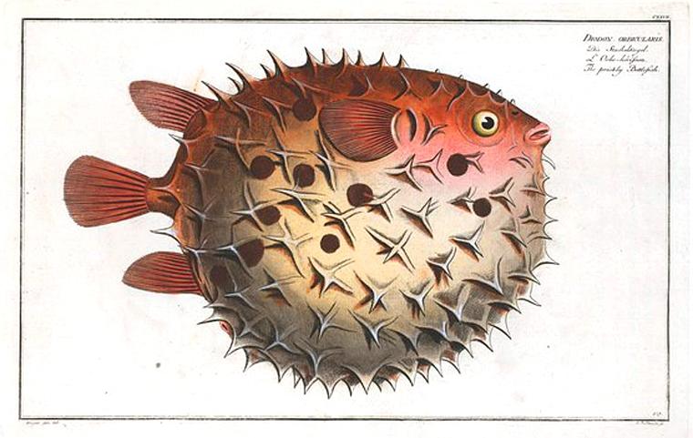 760x481 Animal Fish Puffer Fish Vintage Printable