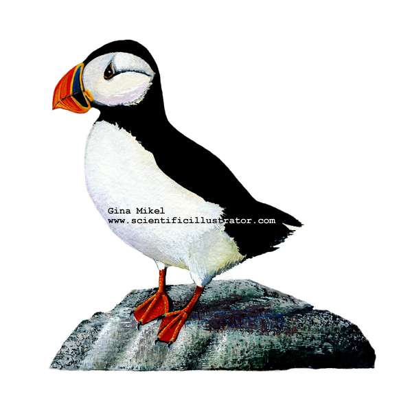600x600 Puffins Watercolor Illustrations