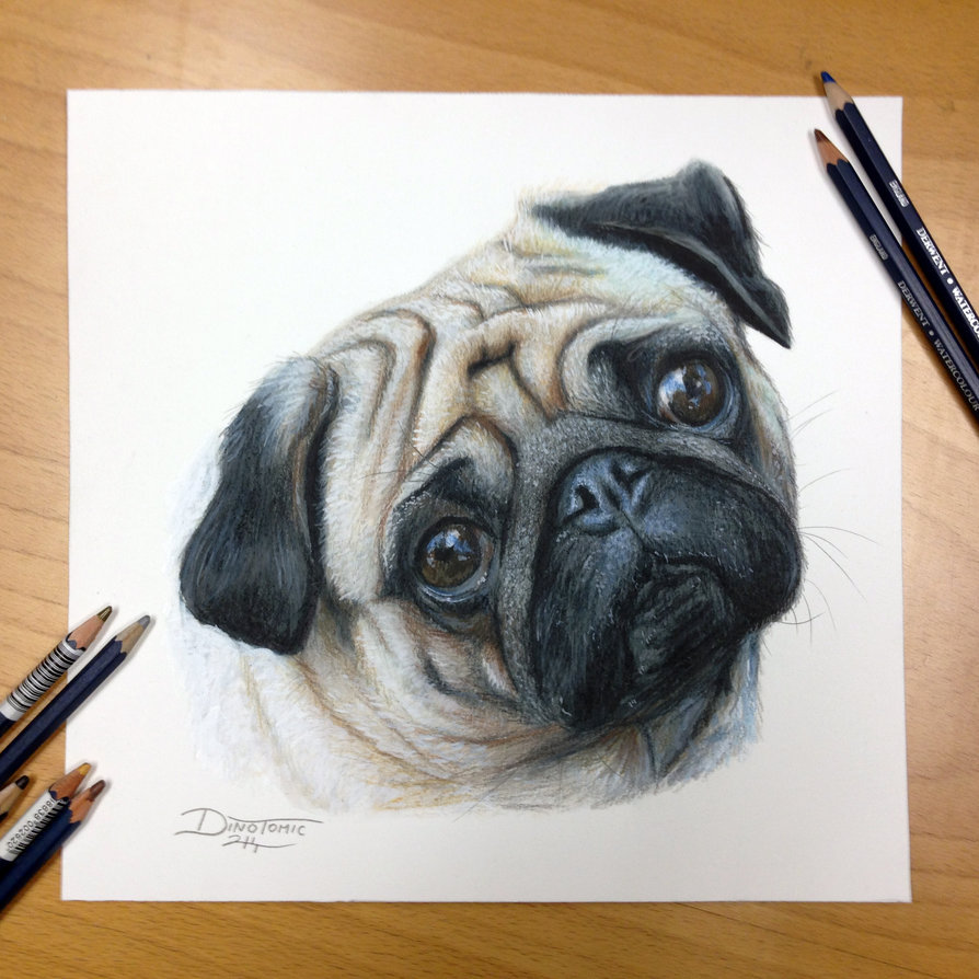 894x894 Pug Color Pencil Drawing By Atomiccircus