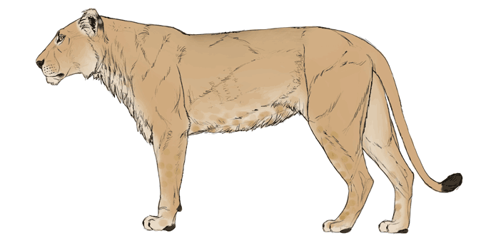 688x334 How To Draw Big Cats Lions, Tigers, Cheetahs, And More