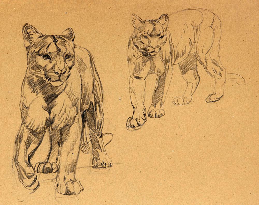 1000x792 Puma, Raymond Sheppard Felins Illustrations Pumas