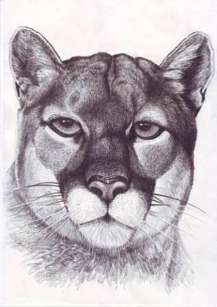 317x448 Puma Drawing Pencil On Paper By Veri Apriyatno Photoimage By