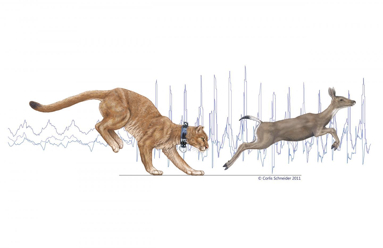1440x931 Pumas Trained To Run On Treadmill Help Explain Big Cat's Ambush