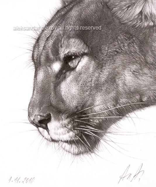 534x640 Puma Portrait Pumas, Portraits And Tattoo