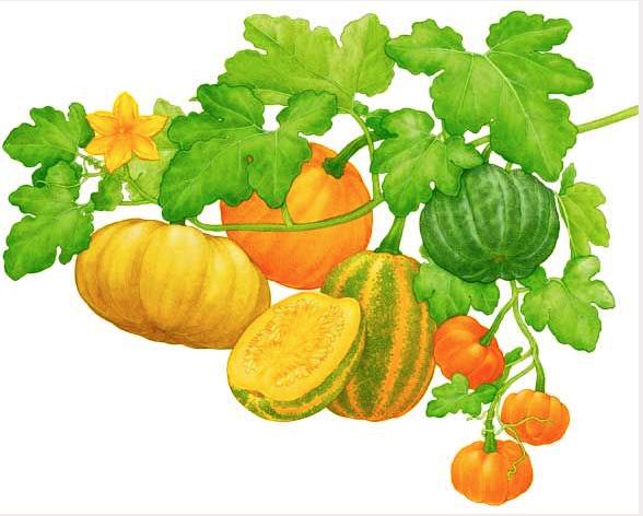Pumpkin Leaf Drawing at GetDrawings.com | Free for ...