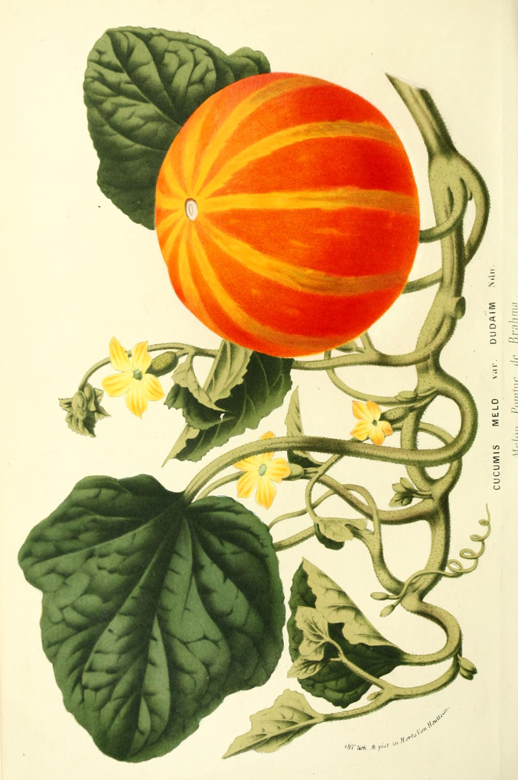 pumpkin plant drawing at getdrawings com free for personal use
