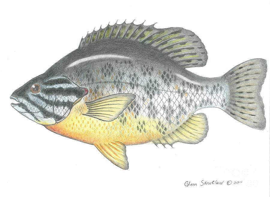 900x655 Pumpkin Seed Fish Drawing By Glenn Strickland