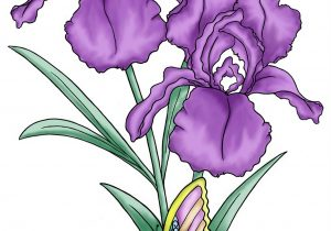 300x210 Iris Flower Pictures To Color