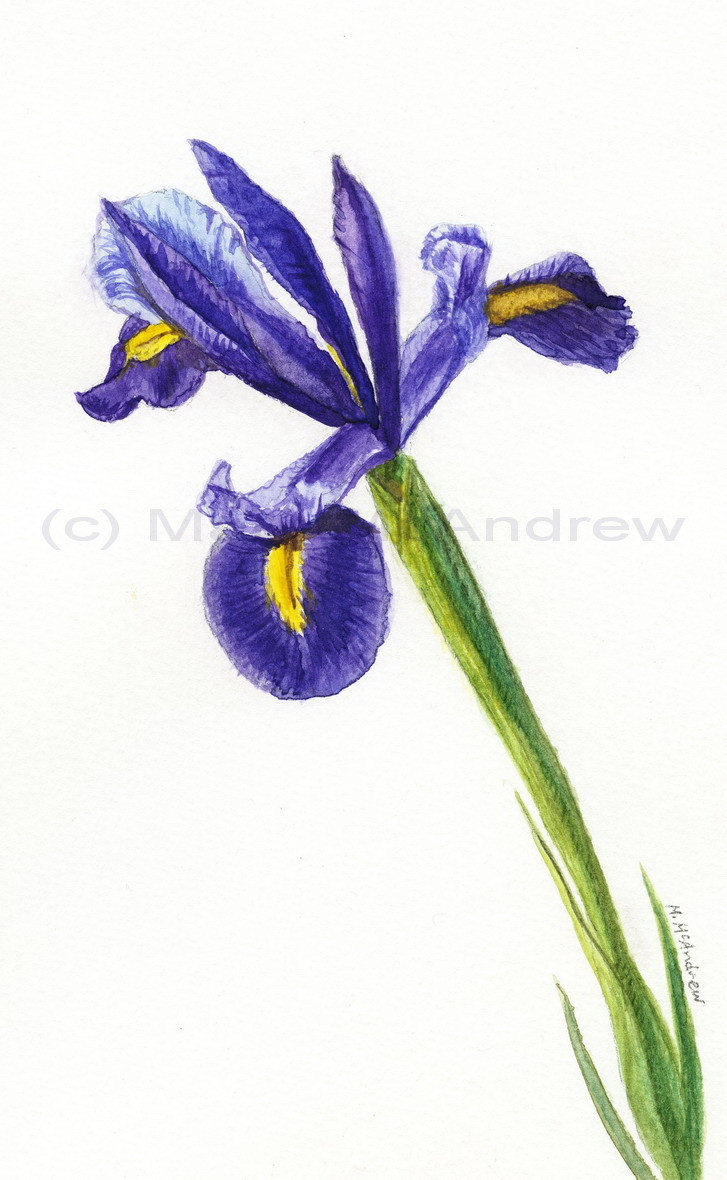 Purple iris drawing at getdrawings free for personal use 727x1180 flower painting mary mcandrew izmirmasajfo Image collections