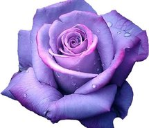 215x185 Flower Purple Rose 147088.jpg Art And Photography