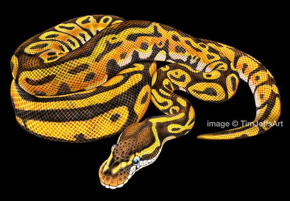 570x395 Ball Python Colored Pencil Drawing