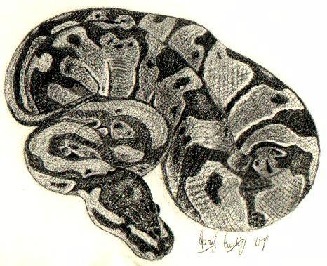 466x379 Ball Python Ii By Cerulean Serpent
