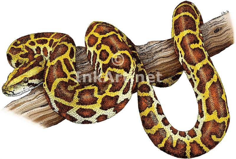 800x539 Burmese Python Stock Art Illustration