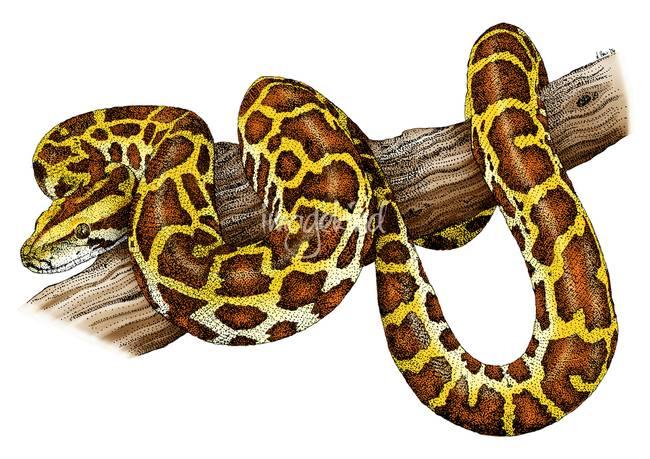 650x459 Burmese Python By Roger Hall