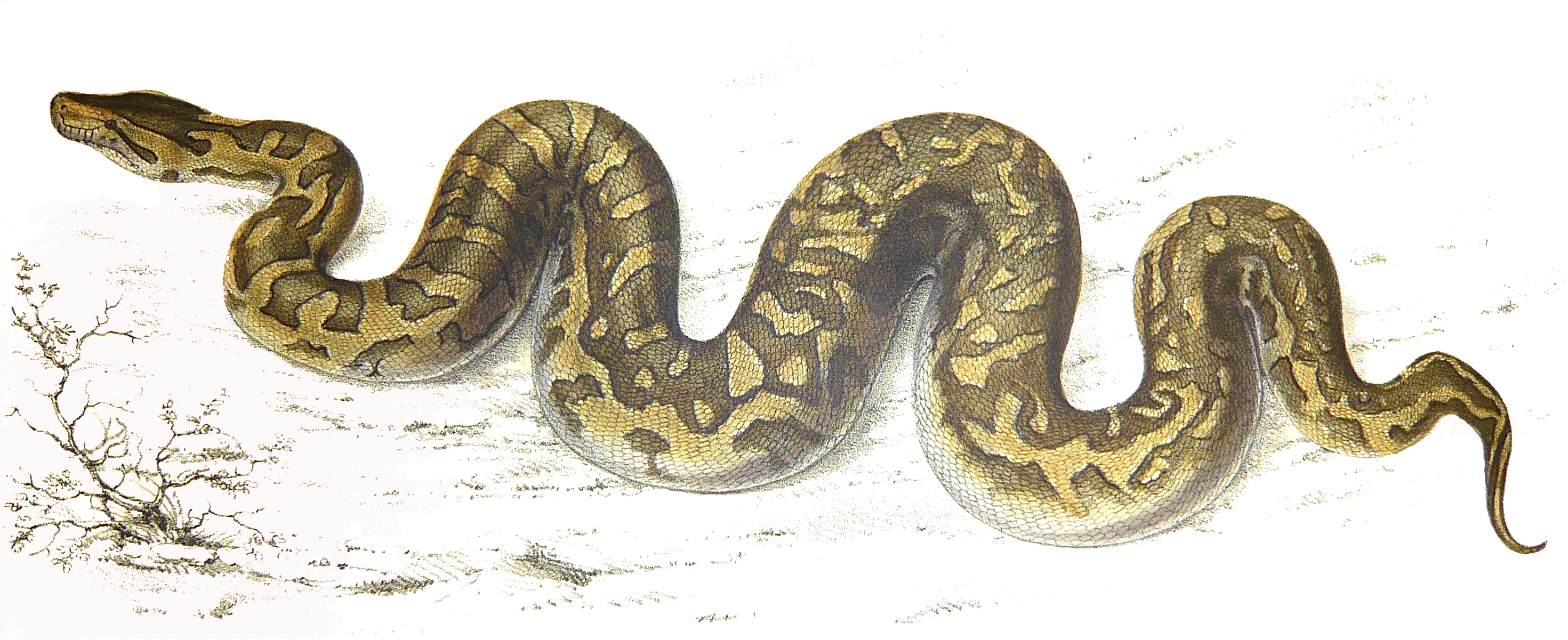 2941x1201 Filepython Natalensis Smith 1840.jpg