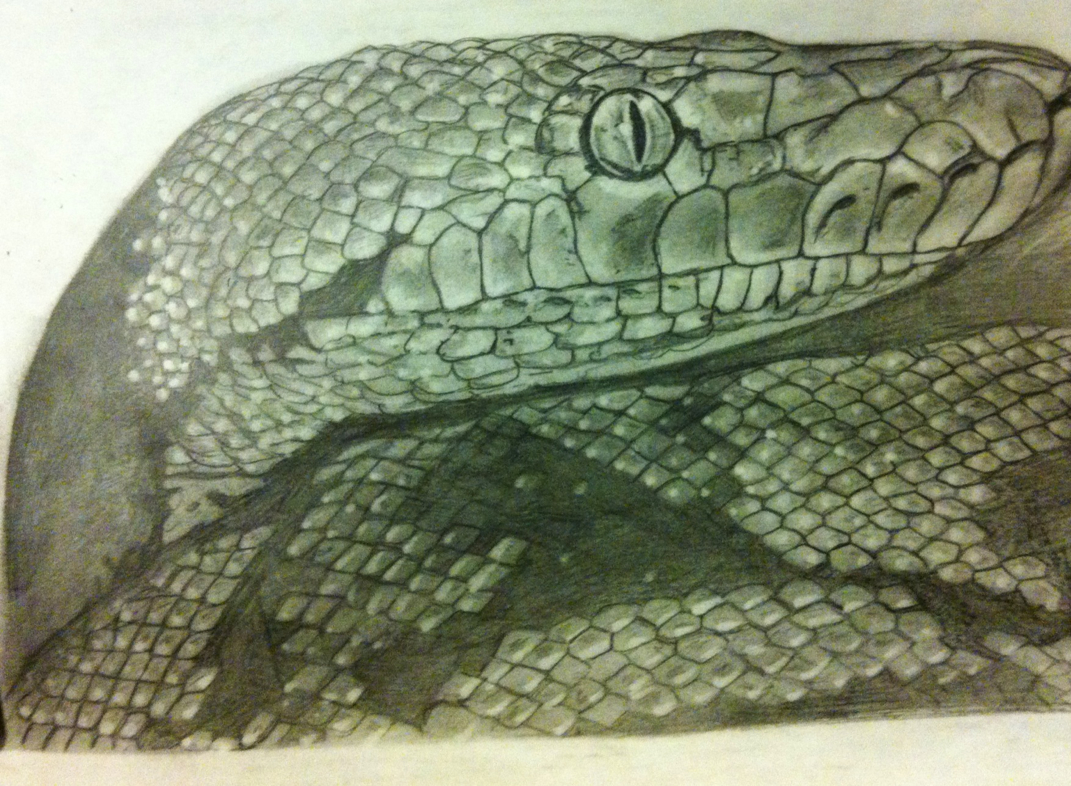1071x786 First Drawing In 2013 Is Of A Reticulated Python.