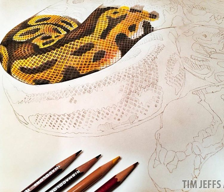 750x642 Tim Jeffs Art Starting On A Ball Python. The 2nd Drawing