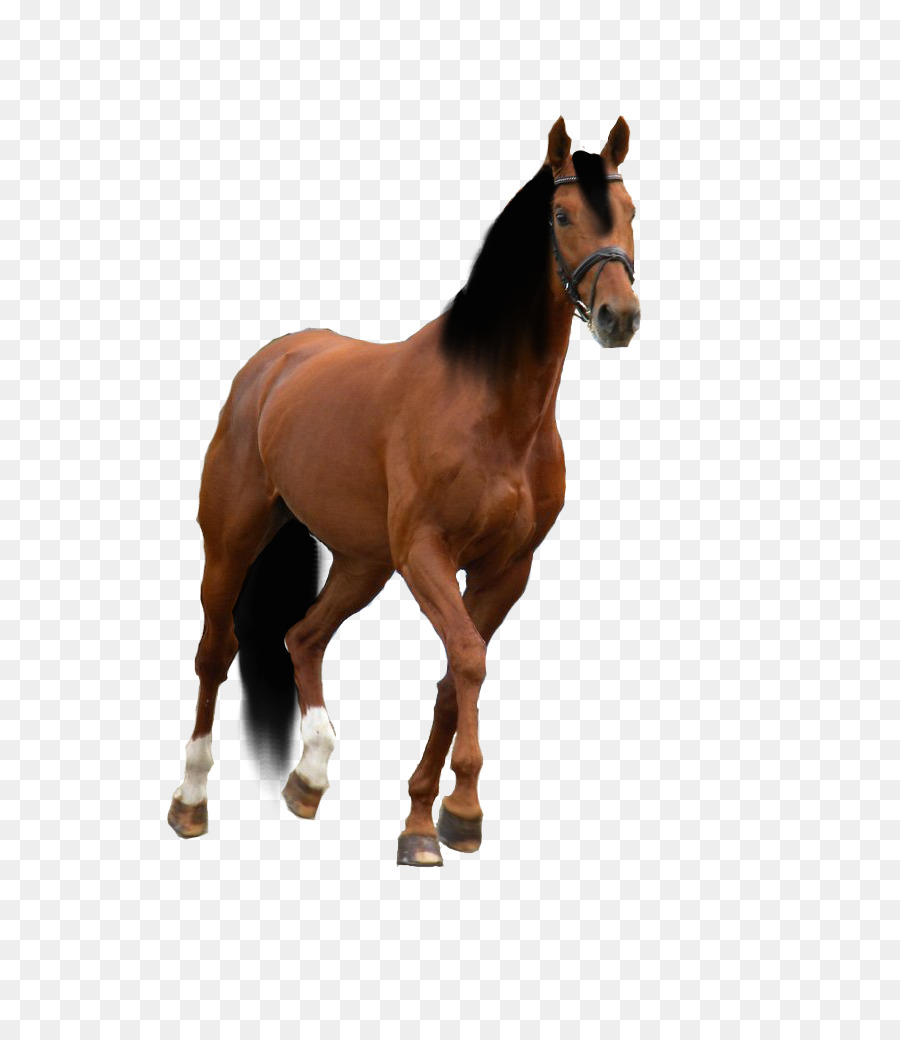 900x1040 American Quarter Horse American Paint Horse Drawing Horse Training