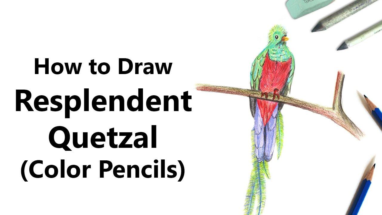 1280x720 How To Draw A Resplendent Quetzal With Color Pencils [Time Lapse