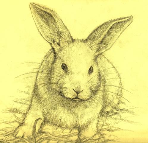 498x480 Rabbit Drawing By Halpenske
