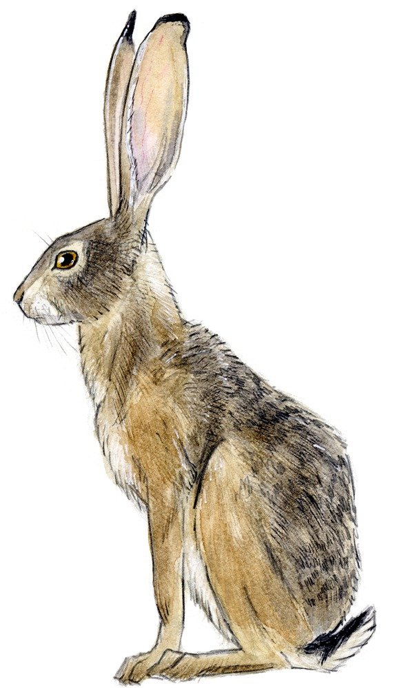 576x998 Rabbit Drawing Best Images Collections Hd For Gadget Windows Mac