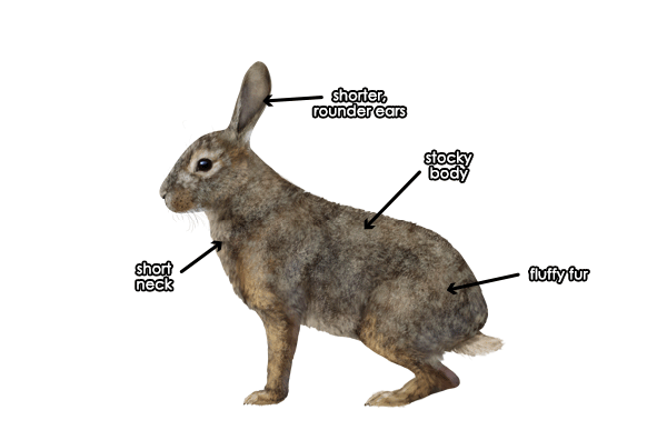 600x396 How To Draw Animals Hares And Rabbits