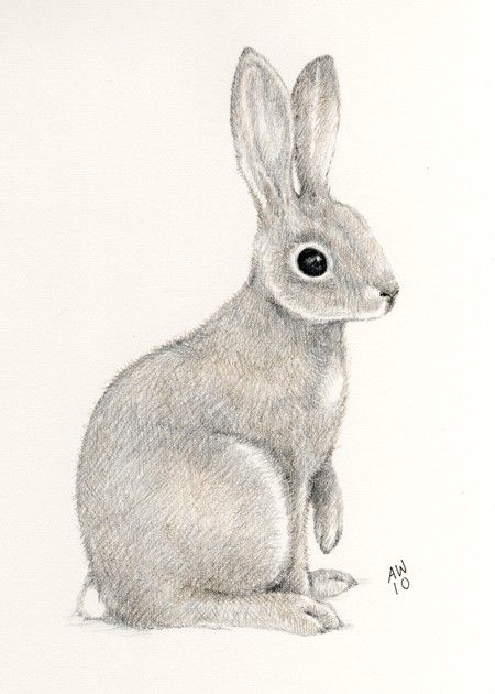 450x630 Photos Pencil Drawings Of Rabbits,