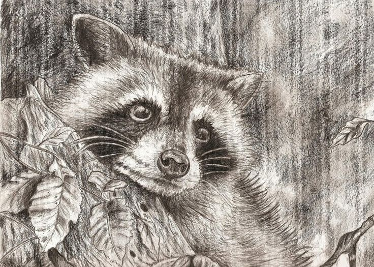 736x525 194 Best Rascally Racoons Images On Raccoons, Racoon