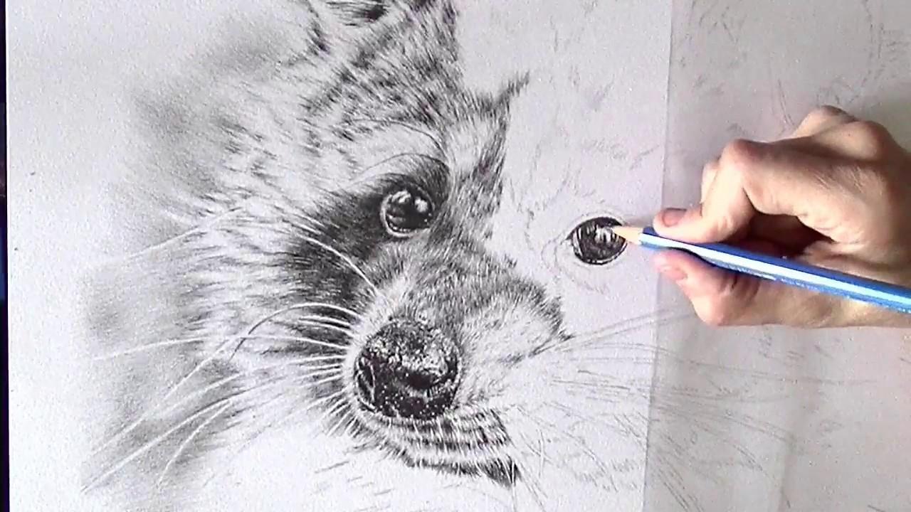 1280x720 Drawing The Eye Of A Raccoon