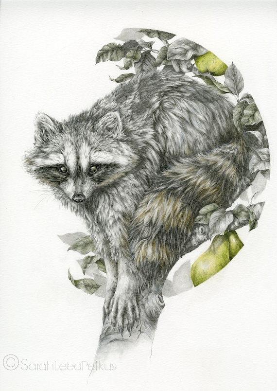 570x804 The Obscurer 11x14 Fine Art Print Raccoon Woodland Pencil