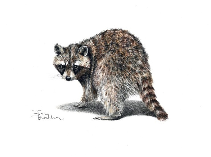 736x546 Raccoon Pencil Drawing By Tammy Buechle! I Love Animals