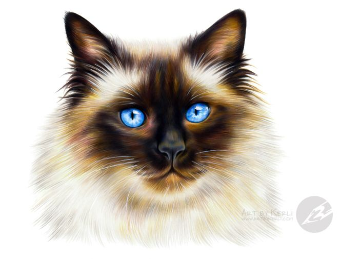 ragdoll cat drawing at getdrawings com free for personal use