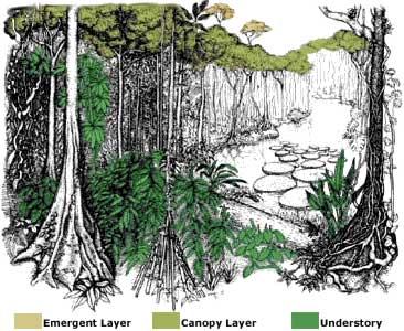 366x300 Rainforest Layers