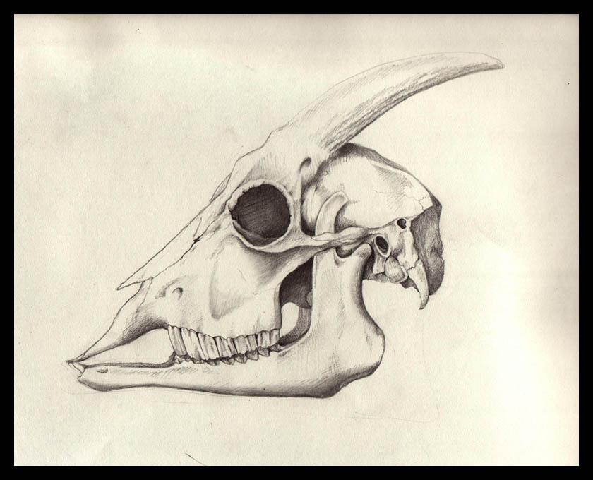 840x680 Goat Skull By Schapiro