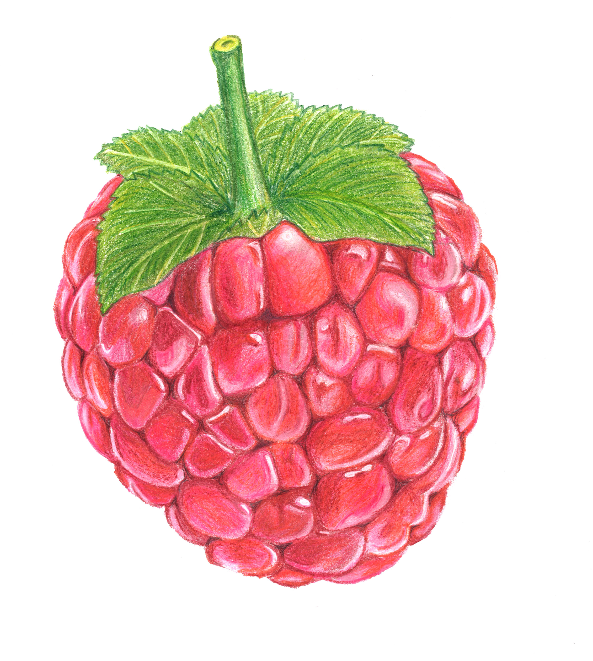 2483x2766 Colored Drawing Of A Raspberry Drawings Raspberry