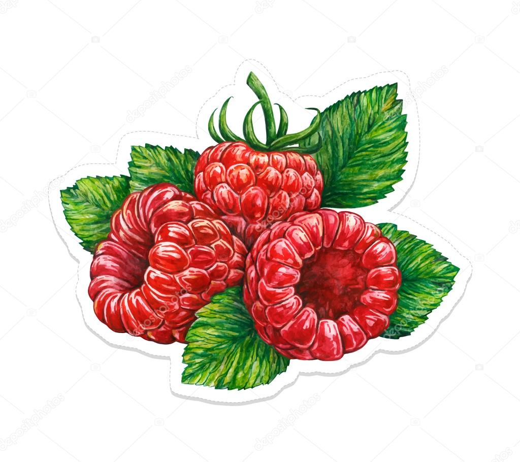 1024x910 Forest Raspberry Isolated On White Background. Watercolor Vector