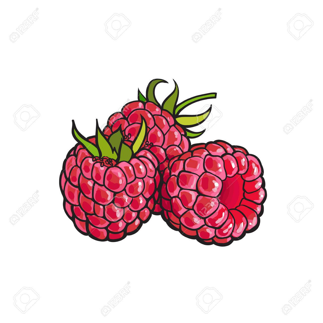1300x1300 Ripe Red Raspberry, Realistic Drawing Vector Illustration Isolated