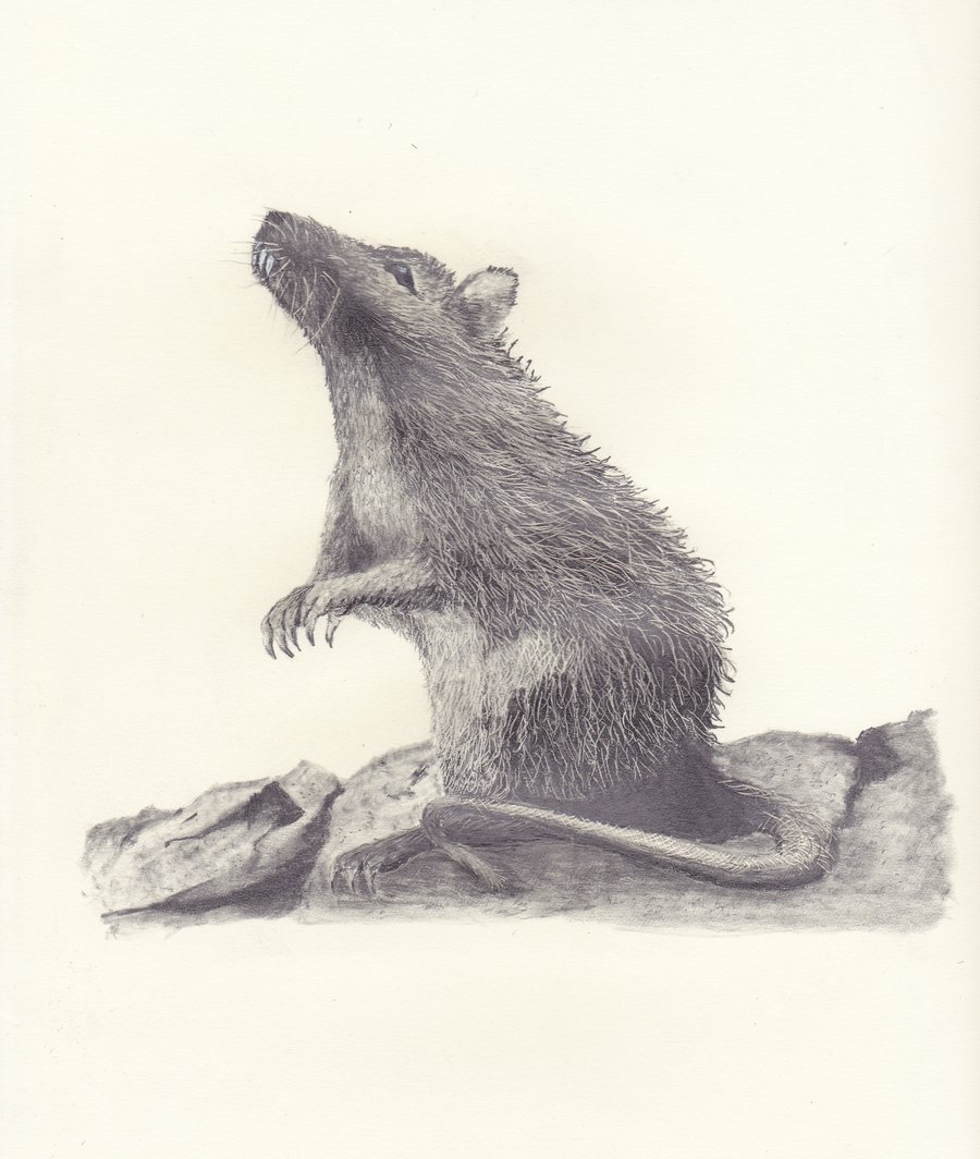 900x1064 Pin By Ellen Bounds On Sketches Of Dormice