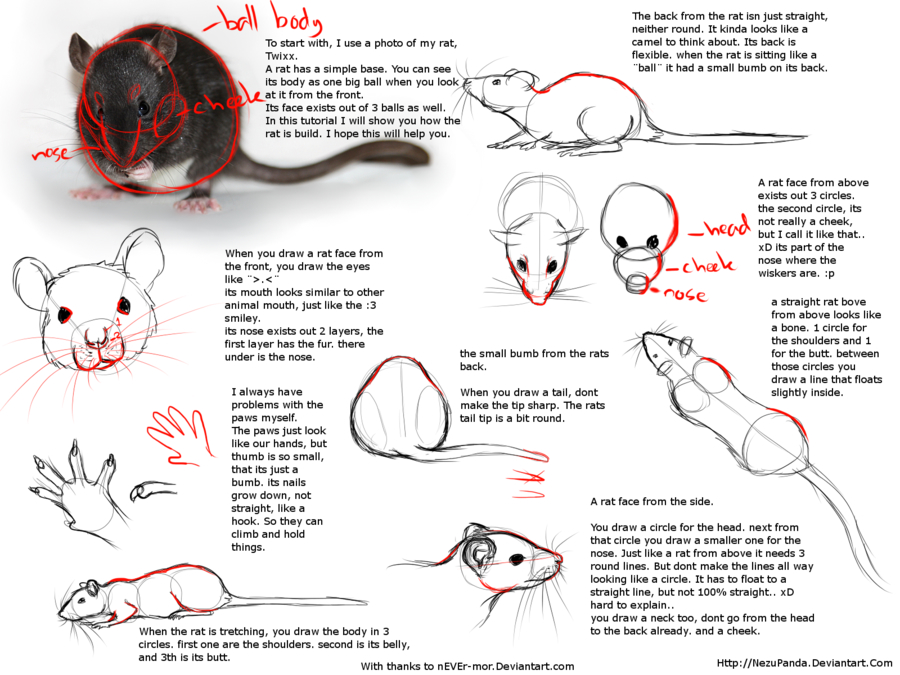 900x675 Pin By Rebecca Allan On Drawing Rats