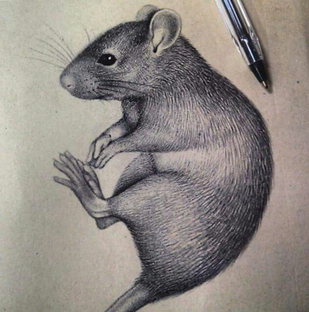 632x639 Amazingly Realistic Ink Drawing Of Rat Parker Rats