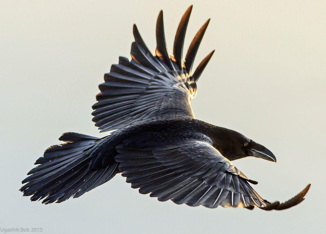 1115x800 Haiku Farmers, Feathers And Ravens