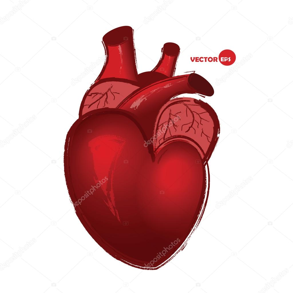 1024x1024 Anatomical Human Heart On White Background, Drawing In Cartoon
