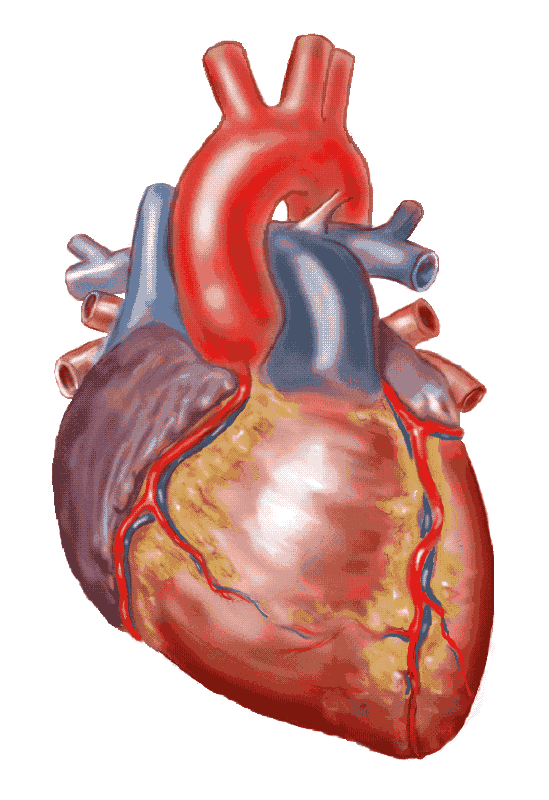 Real Human Heart Drawing At Getdrawings