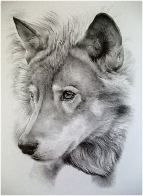 504x687 Animal Drawings Realistic
