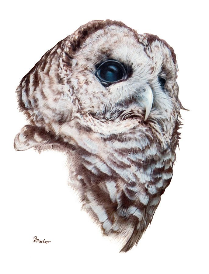 687x900 Owl Drawings Barred Owl Drawing By Brent Ander